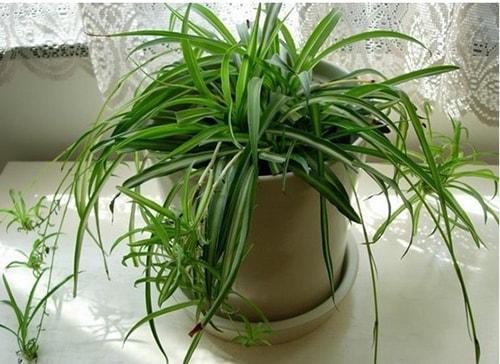 16 loại cây giúp tăng thọ cho gia chủ khi trồng trong nhà