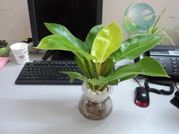 Đặt cây xanh trên bàn làm việc cần lưu ý gì? 1