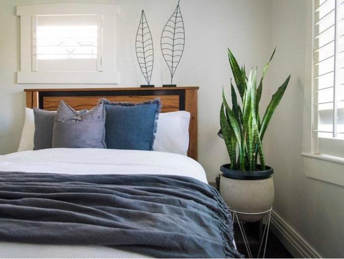 Trồng cây lưỡi hổ trong phòng ngủ